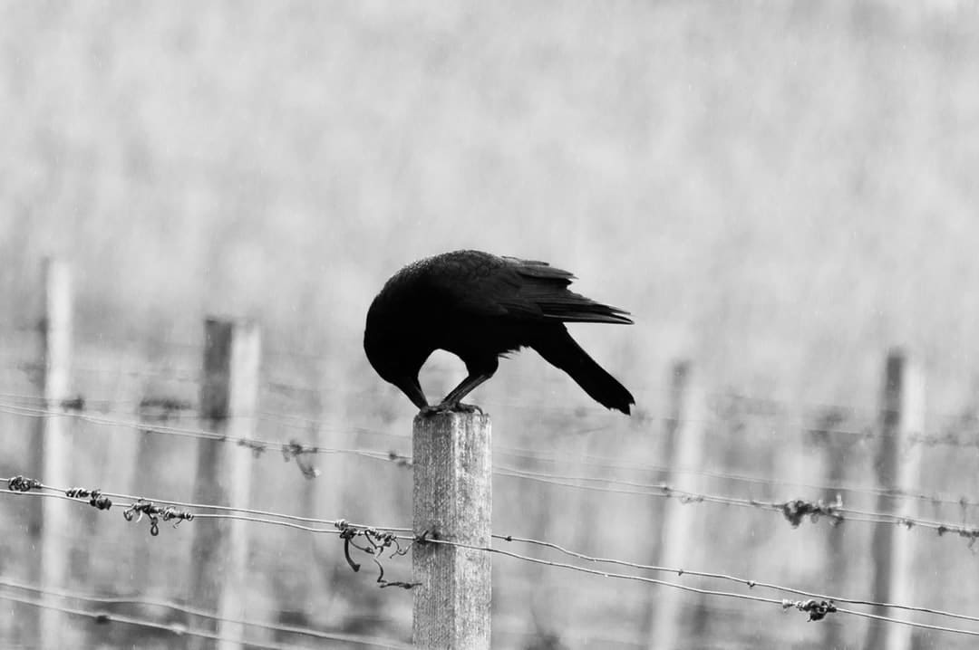 Black-and-white crow on fence post