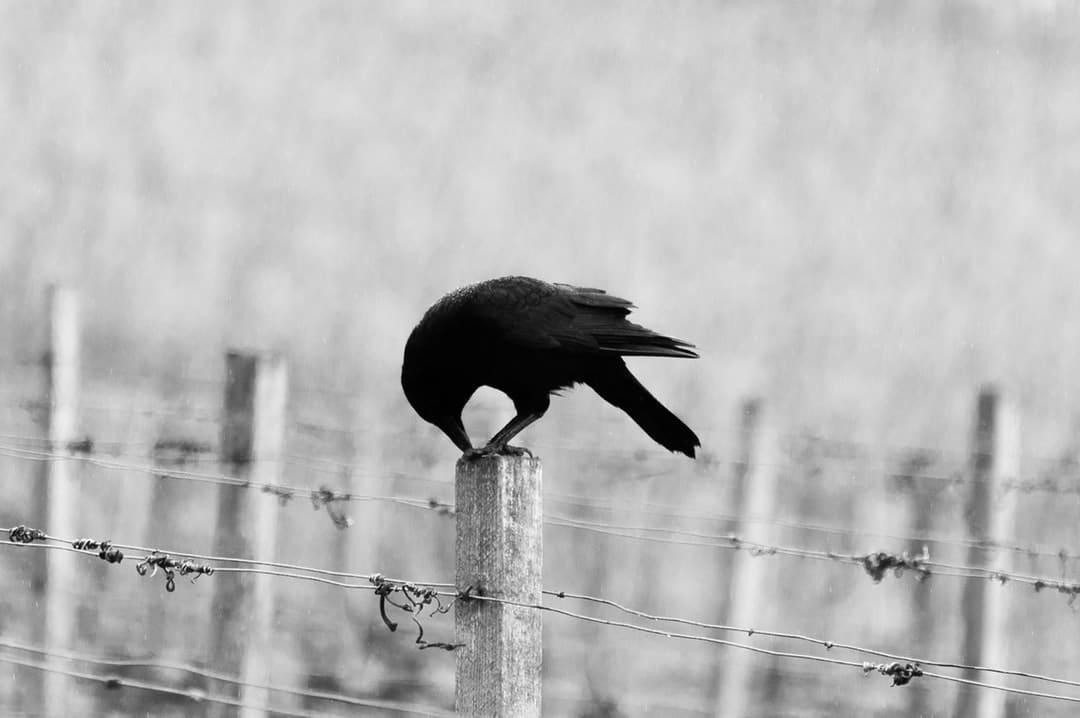 Krähe auf Zaunpflock in Schwarz-weiß