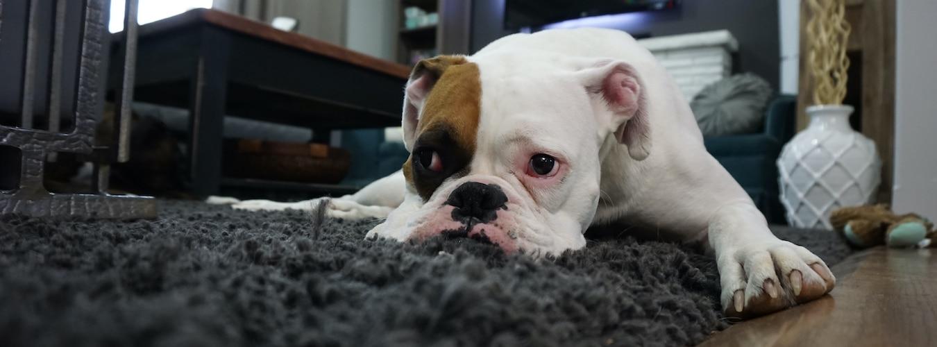 White Boston Terrier dog lying on a black rug